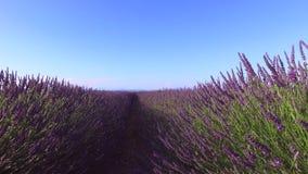 Lavendel i söder av Frankrike arkivfilmer