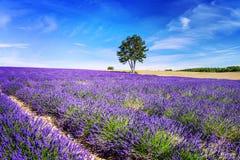 Lavendel i söder av Frankrike Royaltyfri Foto