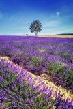 Lavendel i söder av Frankrike Arkivfoton