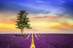 Lavendel i söder av Frankrike Royaltyfri Bild