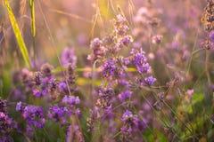 Lavendel i solnedgångsignalljus Royaltyfria Bilder