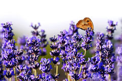 Lavendel i sommar Royaltyfria Foton