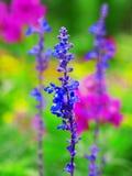 Lavendel im Garten stockbilder