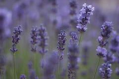 Lavendel im softfocus Stockfotografie