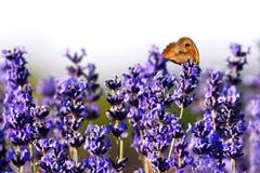 Lavendel im Sommer Lizenzfreie Stockfotos