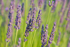 Lavendel im Sonnenlicht lizenzfreie stockfotografie