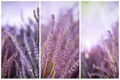 Lavendel im Sonnenscheintriptychon Stockfoto