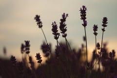 Lavendel im Sonnenuntergang Lizenzfreies Stockbild