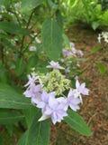 Lavendel kant-GLB hydrangea hortensia Royalty-vrije Stock Afbeelding