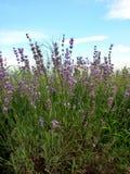 Lavendel in Kawaguchiko Lizenzfreies Stockfoto