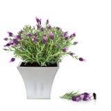 Lavendel-Kraut und Hummel Lizenzfreies Stockbild