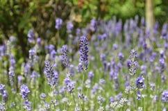 Lavendel [Lavandula angustifolia] lizenzfreies stockbild