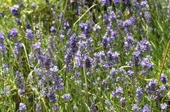 Lavendel [Lavandula angustifolia] lizenzfreie stockfotografie