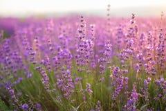 Lavendel Lavendelfält på lavendel skjuten solnedgångtid för exponering long Royaltyfri Bild
