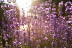 Lavendel Lavendelgebied bij zonsondergang Sluit omhoog beeld Zachte nadruk Stock Foto