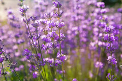 Lavendel Lavendelgebied bij zonsondergang Sluit omhoog beeld Zachte nadruk Stock Afbeelding