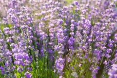 Lavendel Lavendelgebied bij zonsondergang Sluit omhoog beeld Zachte nadruk Royalty-vrije Stock Afbeelding