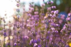 Lavendel Lavendelgebied bij zonsondergang Sluit omhoog beeld Zachte nadruk Royalty-vrije Stock Afbeeldingen