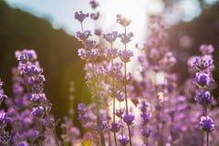 Lavendel Lavendelgebied bij zonsondergang Sluit omhoog beeld Zachte nadruk Stock Afbeeldingen