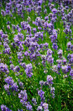 Lavendel/Lavendula Royalty-vrije Stock Foto