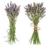 Lavendel lokalisiert auf weißem Hintergrund Frische provencal Blumen lizenzfreie stockfotos