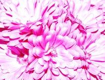 Lavendel-Mamas Lizenzfreie Stockfotografie