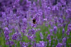 Lavendel med biet fotografering för bildbyråer