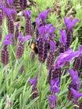 Lavendel med stapplar biet Royaltyfri Fotografi