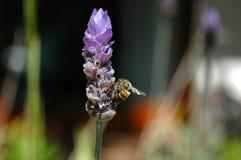 Lavendel mit Biene Stockfotografie