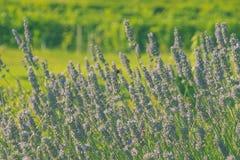 Lavendel mit einem grünen Hintergrund Stockfotografie