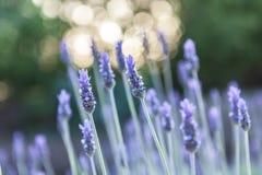 Lavendel mit schönem bokeh lizenzfreies stockbild
