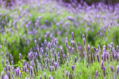 Lavendel mit schönem bokeh lizenzfreie stockfotografie