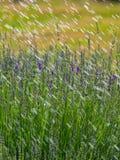 Lavendel mit Wassertröpfchen Lizenzfreie Stockbilder