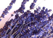Lavendel nah oben gegen den weißen Hintergrund stockbild