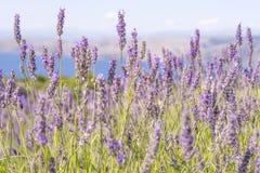 Lavendel och Adriatiskt havet på Hvar Arkivfoto