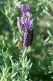 Lavendel och bi Arkivfoto