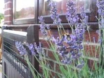 Lavendel och bi Fotografering för Bildbyråer