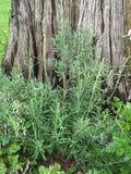 Lavendel och cederträ royaltyfri bild