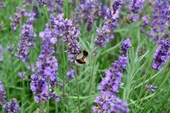 Lavendel och humla Royaltyfri Bild