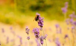 Lavendel och stapplabiet Arkivfoton