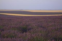 Lavendel- och vetefält av Valensole, Provence Arkivbilder