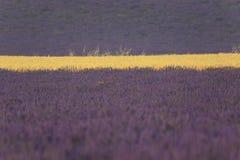 Lavendel- och vetefältslut upp Arkivfoto