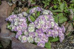 Lavendel och vita blommor Arkivfoton