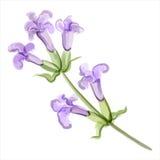 Lavendel också vektor för coreldrawillustration vektor illustrationer