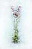 Lavendel op blauw Stock Foto