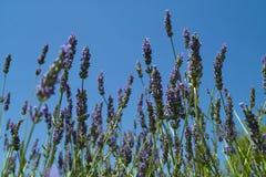 Lavendel op de blauwe hemel Royalty-vrije Stock Fotografie