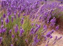 Lavendel op een gebied Royalty-vrije Stock Foto's