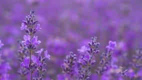 Lavendel op een gebied stock footage