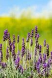 Lavendel op een Gebied van Geel en Groen Stock Fotografie