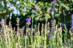Lavendel op het gebied Royalty-vrije Stock Foto